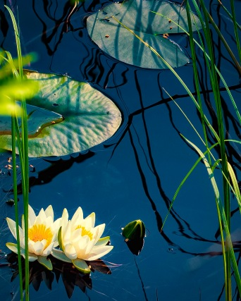 Day 62 The Water Lily Pond