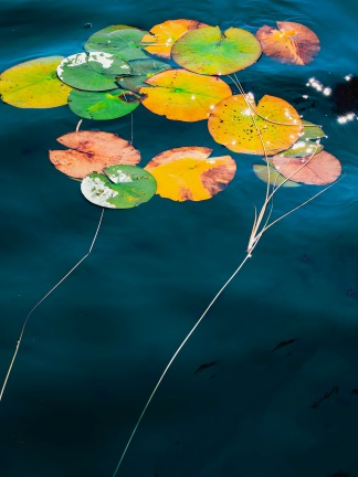 Lily Leaves